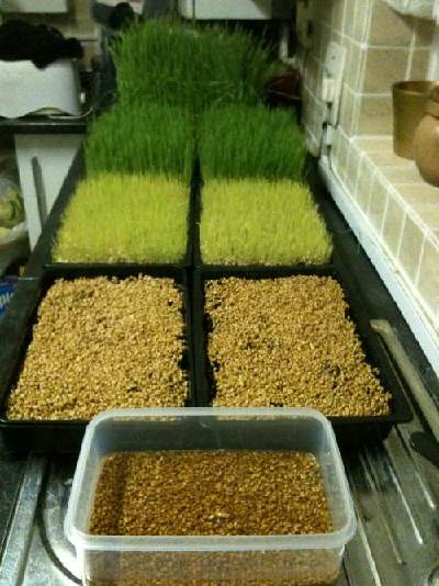 Как в домашних условиях посадить пшеницу в 529