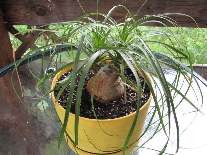 Бокарнея отогнутая (Beaucarnea recurvata)